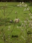 Sheep and Lamb Spring 2012