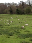 Farm Sheep Spring 2012