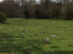 Sheep Spring 2012