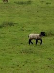 I find the black-faced lambs very endearing
