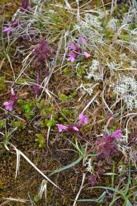 Brodgar Wildflower 3
