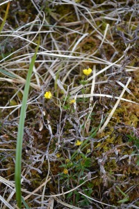 Brodgar Wildflower 4